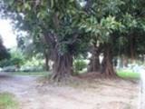 Thumbnail  Der große Baum des Quadrates von Spanien.