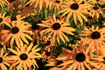 Thumbnail Orange Coneflower( Rudbeckia fulgida)