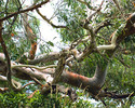 Thumbnail Twisted Gum Tree 1