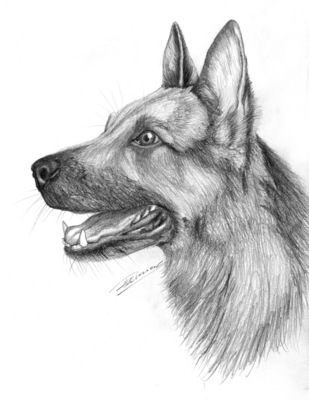 how to draw a realistic german shepherd pup with pencil