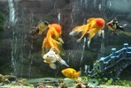 Thumbnail How To Have A Beautiful Aquarium & Learning The Proper Care
