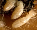 Thumbnail How to Prevent Termite Infestation