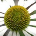 Thumbnail coneflower - echinacea