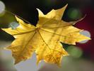 Thumbnail Maple leaf in autumn