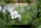 Thumbnail Apfelbluete - appleflower