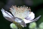 Thumbnail blackberry blossom