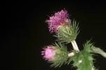 Thumbnail safflower