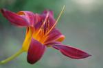 Thumbnail fire lily