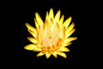 Thumbnail yellow blossom