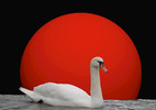 Thumbnail Swan in front of a red sun
