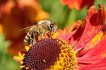 Thumbnail Honey bee on flower