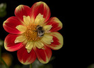 Thumbnail dahlia with bumble bee