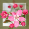Thumbnail cherry blossom with frame