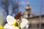 Thumbnail Peacock Butterfly on daffodil against Crown Gate of the Dres