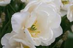 Thumbnail white tulip - Weiße Tulpe