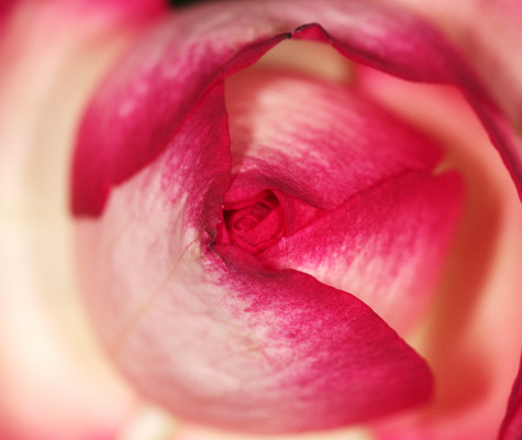 Pay for the heart of the rose - Rosenherz
