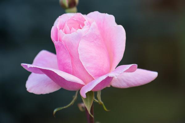 Pay for rose blossom