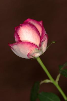 Pay for Rose abstrakt