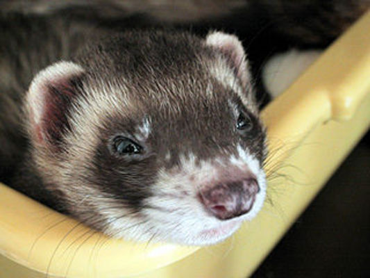 Pay for Ferrets Plr Articles - 25 Quality Article Packs