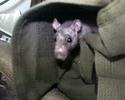 Thumbnail Rat in bag