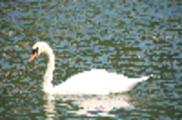 Thumbnail Swan