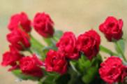 Thumbnail Rose IMG 4168.JPG