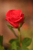 Thumbnail Rose IMG 4182.JPG