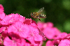 Thumbnail Pink flower and bee