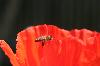 Thumbnail Bee and poppy 9715